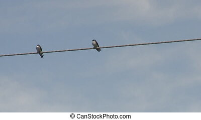 Birds in Love or Fight - Two Birds on a Wire in Love or...