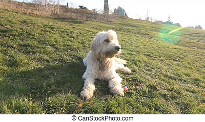 Sunny labradoodle - Labradoodle sits down on a cold, sunny...