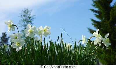 Tender white narcissus flowers in grass