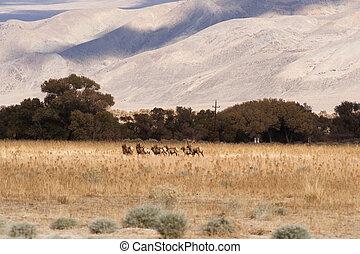 Male Bull Elk Leads Female Animal Mates Wild Livestock -...