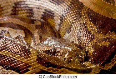 python,  closeup, cobra