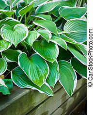 Hosta - Old retaining wall with hosta plant looking over....