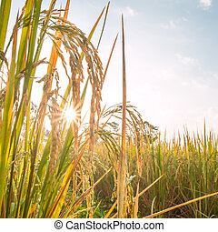 rice in field with sun beam