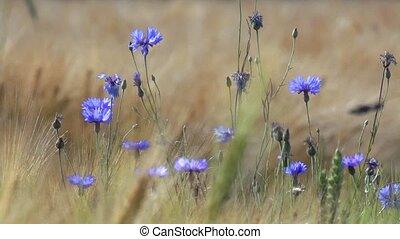 cornflowers in summer
