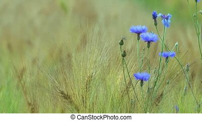 cornflowers in summer