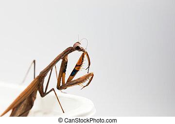 brown mantis or praying mantis close-up shot in studio
