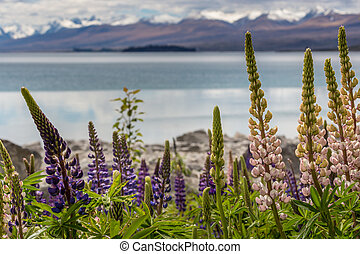 Majestic mountain with llupins blooming, Lake Tekapo, New...