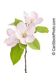 apple tree blossoms with green leaves isolated on white...