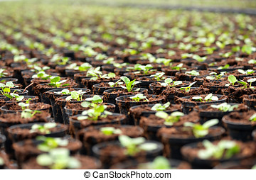 Transplanted seedlings at a nursery or horticultural farm...