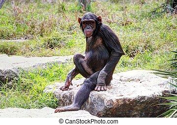 Pan troglodytes  - Monkey