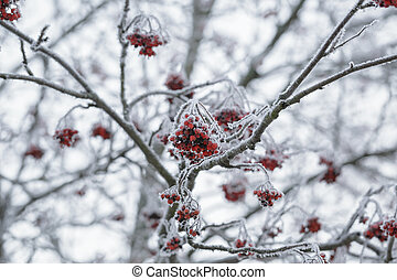 rowanberries covered with hoarfrost in the winter morning,...
