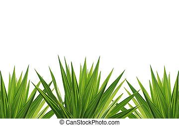 agave, planta, aislado, en, blanco, Plano de fondo,