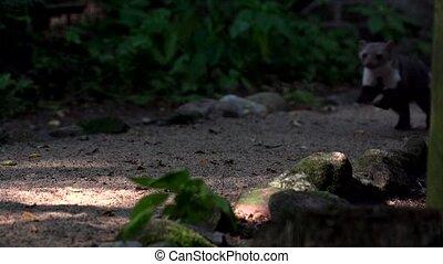 stone marten - in summer