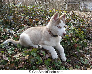 Husky Puppy Lying - picture of a husky puppy lying on the...
