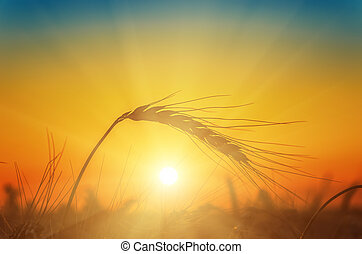 sunset over field with harvest