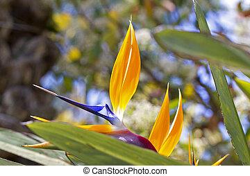 Strelitzia reginae - Bird of Paradise flower. The Strelitzia...