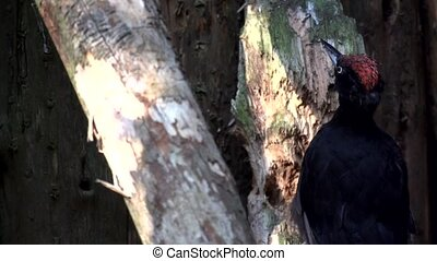 black woodpecker in slow motion