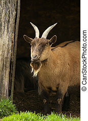 billy goat undercover in a farmyard shelter