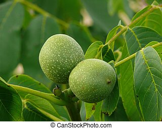 Green walnut pair between leaves
