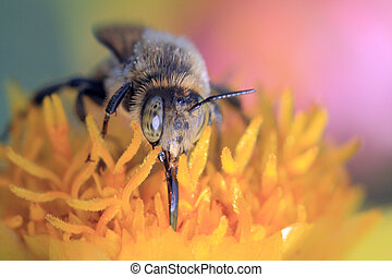 bee collect pollen, macro shooting