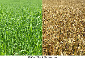 Harvest Field - Agricultural field