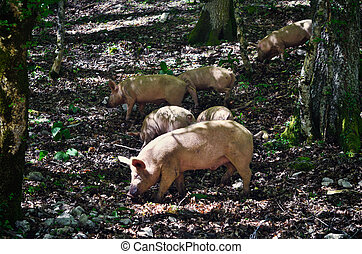 Pigs in a forest - Pig in a mountain forest, Italy