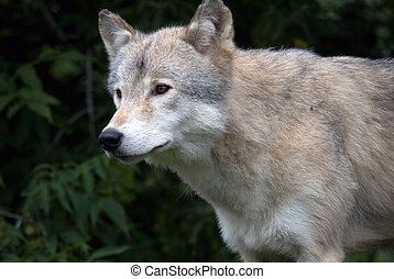 Gray Wolf - Closeup picture of a gray wolf in its natural...