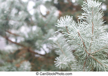 Snow-covered fir tree branches - Background with...