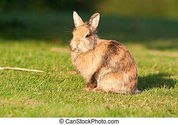 pequeno, coelho, capim