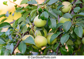pears on  tree in the garden