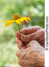 Yellow daisy in older women - Yellow daisy in the hands of...