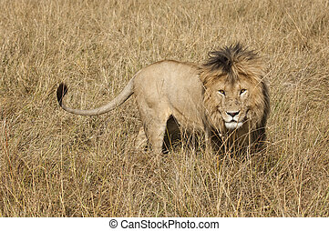 East African Lion Panthera leo nubica - Mature male lion in...