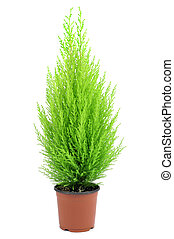 goldcrest cypress - a goldcrest cypress in a plant pot on a...
