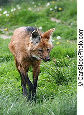 maned wolf - portrait of a female maned wolf