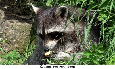 Raccoon in summer