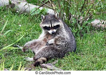 raccoon - chilling raccoon