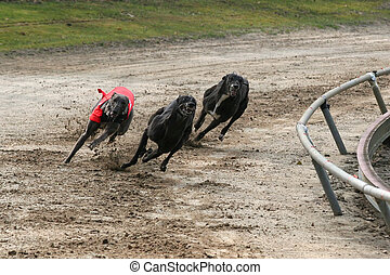 sprinting greyhounds in the first corner