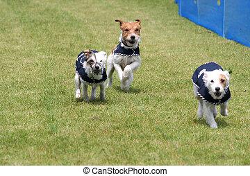 jack russel race - jack russel terriers in a dograce