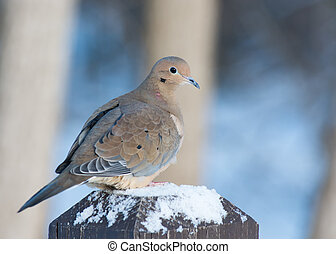 Mourning Dove - A mourning dove perched on a post with bird...