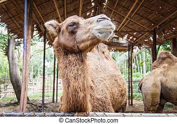 Camels  - Camels