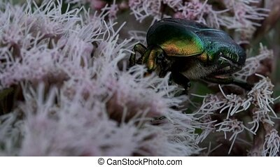 rose chafer on a flower