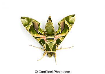 moth - Moth, green color solate on white background