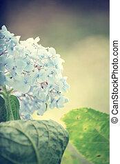 Hydrangeas flowers