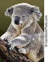 Koala sitting on a tree branch
