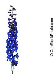 delphinum in blue, isolated - rittersporn, freigestellt
