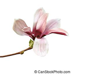 magnolia, isolated - magnolienbluete, freigestellt