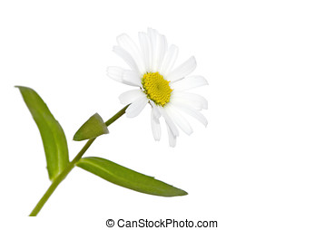white daisy on white - margerite, blaetter, stengel,...