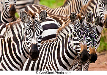 Zebra animals crowd