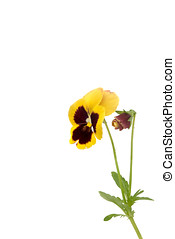 pansies, isolated - stiefm?tterchen, bluete, gelb,...