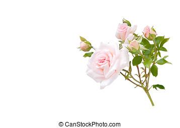 roses, isolated - rosenzweig, zart, rosenblueten,...